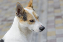 Portrait of nice stray cross-breed white dog Royalty Free Stock Photos