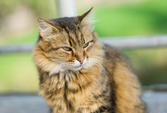 Outdoor portrait of Siberian cat Stock Images