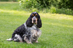 Outdoor portrait of sitting english cocker spaniel Stock Photography