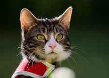 Outdoor Portrait of Tabby Kitten in Red Harness Royalty Free Stock Photos