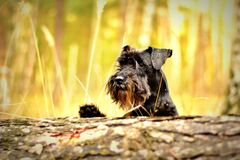 Outdoor portrait of terrier dog