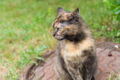 Outdoor portrait of three colored cat Royalty Free Stock Image