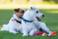 Outdoor portrait of two Parson Russell Terrier Royalty Free Stock Photo