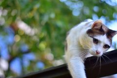 White Brown Cat Blurred background. Outdoor portrait of a white and brown cat with big blue eyes, Playing cat with blurred natural background Royalty Free Stock Images
