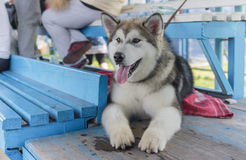 Outdoor portrait of young Alaskan Malamute Royalty Free Stock Image
