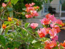 Outdoor reddish orange Bougainvillea flowers planted outside to decorate a house royalty free stock photo