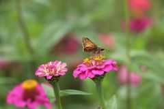 Natures Rest Stop. An outdoor scene with a closeup of a butterfly landing on a pink flower and taking a quick rest royalty free stock image