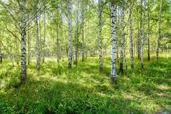 Birch Grove in Nature Park As Summer Landscape stock photo