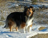 Outdoor Sheltie. Shaded mahogany sable Shetland Sheepdog in full body shot stands in patch of snow with brown patchy grass in background looking towards camera Royalty Free Stock Photo