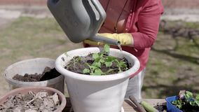 Outdoor shot of an elderly woman watering plants in a flowerpot. Working on the backyard at her cottage in summer stock video footage