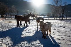 Outdoor shot of of farm with pasturing horses at winter sunny da Royalty Free Stock Images