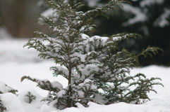 Outdoor shot of a nice little fir tree in thick snow Stock Image