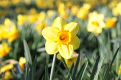 Outdoor shot of yellow daffodils Stock Images