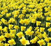 Outdoor shot of yellow daffodils Stock Photos