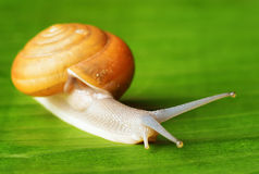 Snail creeping on green leaf Stock Image