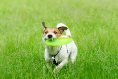 Outdoor summer activity: plastic disk game with a dog Royalty Free Stock Photos