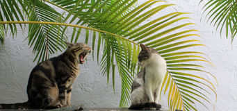 Tom cat yawns girl cat stares. Outdoor tom cat yawns while female watches Royalty Free Stock Photos
