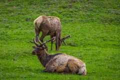 Outdoor view of elk with velvety antlers resting in a meadow. And other elk grazing the grass in a gorgeous sunny day in Yellowstone National Park Stock Photos