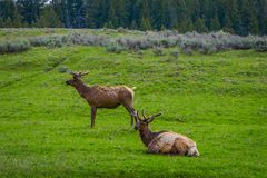 Outdoor view of elk with velvety antlers resting in a meadow. And other elk grazing the grass in a gorgeous sunny day in Yellowstone National Park Royalty Free Stock Photos