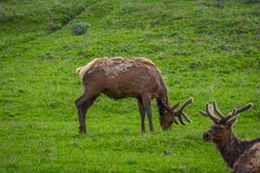 Outdoor view of elk with velvety antlers resting in a meadow. And other elk grazing the grass in a gorgeous sunny day in Yellowstone National Park Stock Photography