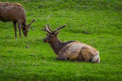 Outdoor view of elk with velvety antlers resting in a meadow. And other elk grazing the grass in a gorgeous sunny day in Yellowstone National Park Royalty Free Stock Image