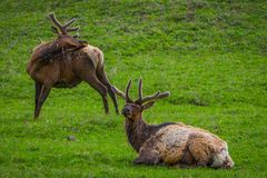 Outdoor view of elk with velvety antlers resting in a meadow. And other elk grazing the grass in a gorgeous sunny day in Yellowstone National Park Royalty Free Stock Photography