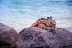 Outdoor view of gorgeous orange marine iguana resting on the rocks at Galapagos islands. Ecuador stock images