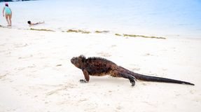 Outdoor view of marine iguana on Tortuga bay beach at Galapagos island royalty free stock photography