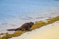 Outdoor view of marine iguana on Tortuga bay beach at Galapagos island stock photos