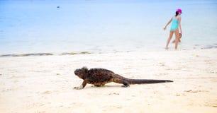 Outdoor view of marine iguana on Tortuga bay beach at Galapagos island royalty free stock images