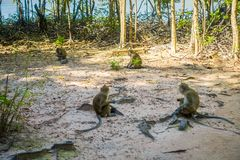 Outdoor view of monkeys macaques crab-eaters, Macaca fascicularis, area of buddhist monastery Tiger Cave Temple.  Stock Image