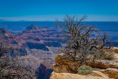 Outdoor view of old dry bush in the border of the cliffs above Bright Angel canyon, major tributary of the Grand Canyon. Arizona, view from the north rim, in stock images