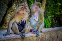 Outdoor view of two female monkeys macaques crab-eaters one mom with his baby breastfeeding. Macaca fascicularis, area Stock Images