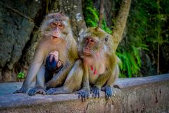 Outdoor view of two female monkeys macaques crab-eaters one mom with his baby breastfeeding. Macaca fascicularis, area Stock Photo