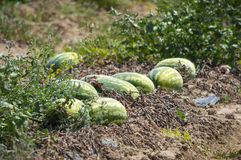 Outdoor watering of watermelons at Peloponnese, Greece. Royalty Free Stock Photos