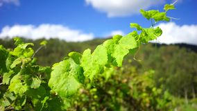 Outdoor Wedding in a Vineyard. A full HD footage of a grape plant branch in a vineyard swaying with the wind and with the tropical forest and blue skies in the stock video footage