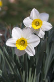 Outdoor white daffodils and green leaves. Outdoor two white daffodils with yellow center petal and green leaves Royalty Free Stock Photo