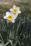 Outdoor white daffodils and green leaves. Outdoor two white daffodils with yellow center petal and green leaves on brown bokeh background Royalty Free Stock Photo