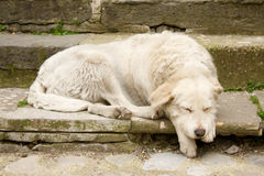Outdoor white sleeping dog Royalty Free Stock Photography