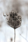 Outdoor Winter Weed Close Up. Outdoor winter weed in field close-up Stock Image