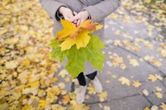 Outdoor yellow, red and green autumn leaves in the hands of a girl. stock photography