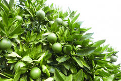 Outdoors снял зеленых плодоовощей дерева tangerine Стоковые Изображения