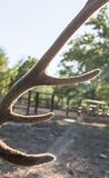 Outdoors deer antler. In the park in nature royalty free stock photos