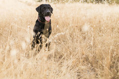 Outdoors front view of a dog. black labrador on yellow backgroun. Outdoors back front of a dog. black labrador on yellow background at sunset. lifestyle Royalty Free Stock Images
