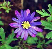 Outdoors Macro shot of a tiny purple flower. Macro close up of a beautiful tiny two tone flower Royalty Free Stock Photo