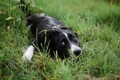 Outdoors portrait of happy black and white dog hidden in the green grass in the backyard during summer day. Outdoors portrait of happy black and white dog royalty free stock photography