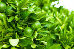 Outdoors shoot of green fruits and leafs of the tangerine tree Royalty Free Stock Photo