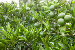 Outdoors shot of green fruits and leafs of the tangerine tree Stock Image