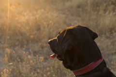 Outdoors side view of a dog. black labrador on yellow background. Outdoors side view front of a dog. black labrador on yellow background at sunset. lifestyle Royalty Free Stock Images