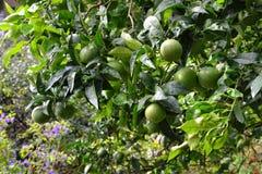 Outdoors strzelał zielony tangerine drzewo obraz royalty free
